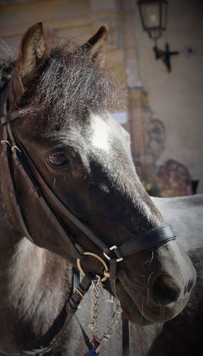 wirsbo-ridcenter-ponny-schwedenlindes-herkules